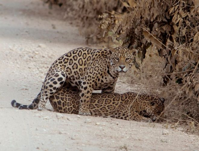 ... Expert Boatman And Guide Will Search For All Kinds Of Wildlife, But  With The Main Focus On Jaguars And River Otters. Dinner And Overnight At  The Lodge.